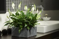 Pflanzen sorgen im Badezimmer nicht nur für ein besseres Raumklima, sondern verwandeln den Raum in eine grüne Wellnessoase, die zum Entspannen einlädt. Wir verraten Ihnen, welche Pflanzen im Badezimmer besonders gut gedeihen. #urbanjungle #badezimmer #pflanzen #indoor #zimmerpflanzen
