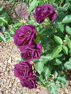'Midnight Blue', modern shrub rose, continuous flowering. Deep velvety purple double flowers in clusters intense clove fragrance. Light green semi-glossy, medium foliage. Compact and bushy. Requires full sun