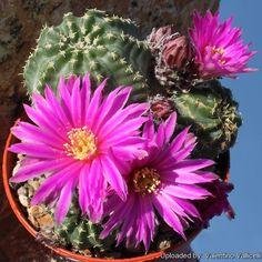 Echinocereus_aguirrei_6884_l.jpg (780×780)