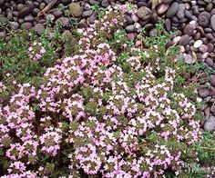 Unlike its culinary cousins, red creeping thyme won't play a starring role in your kitchen, but it will add tons of color and interest to your rock garden. This gorgeous ground hugger will quickly fill in between paving stones or rock walls.