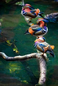 x-enial-deactivated20150306:  Mandarin Ducks by Alan Shapiro