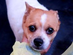 TO BE DESTROYED 7/11/14 Manhattan Center -P  My name is MILEY. My Animal ID # is A1004868. I am a female white and tan chihuahua sh mix. The shelter thinks I am about 4 YEARS old.  I came in the shelter as a OWNER SUR on 06/27/2014 from NY 10030, owner surrender reason stated was COST. https://www.facebook.com/photo.php?fbid=834986226514258set=a.611290788883804.1073741851.152876678058553type=3theater