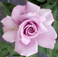 Roses, roses, I ❤️ u Beautiful Rose Flowers, All Flowers, Flowers Nature, Rose Reference, Rose Flower Tattoos, Purple Roses, Flower Pictures, Planting Flowers, Floral