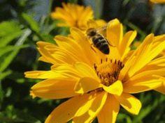 Honig welche ein Genuß. Biene im Anflug. #bee #honey #honig #biene #boardoramio #blume