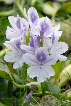 Water Hyacinth.Sc. Name = Eichornia crassipes. Wild flower in Malaysia