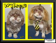 This Little Man - Wilson! He came to see me again, now he's all fresh & clean to start the New Year. Little Dogs, Little Man, Maltese Poodle, Maltipoo, Small Breed, Dog Grooming, Own Home, Your Dog, Fresh