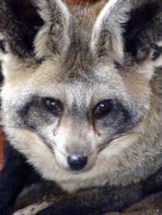 The Bat-Eared Fox – Did You Ever See a Fox Fly?   The Ark In Space