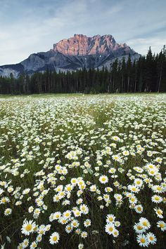 Field of Daisies, Banff National Park, Alberta, Canada