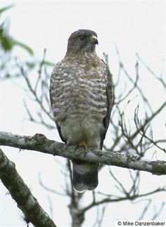Broad wing hawk - Holiday Beach
