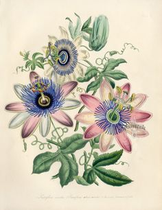 Antique Prints by Jane Loudon, from the Ladies Flower Garden or Ornamental Exotic Plants 1849