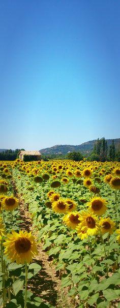 Sonnenblumenfelder entlang der Lavendelroute, Provence / Frankreich cityseacountry.com