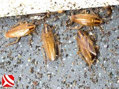 Cockroach control with Bristol Pest Control, WaspKill UK. House Bugs, Bed Bug Control, Cockroach Control, Insect Pest, Flying Insects, Pest Control Services, The Help, Bristol, Articles