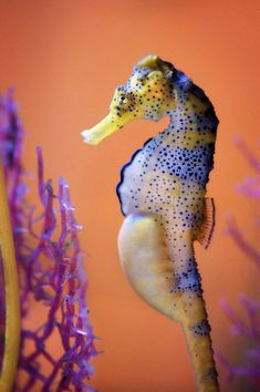 Paternity by ~WallarooGirl - pregnant male seahorse http://wallaroogirl.deviantart.com/ #photography