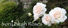 Ivory Blush Roses: Making a Hussif