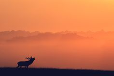 stag toned -
