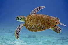 La tortuga carey #ExpertoAnimal #MundoAnimal #ReinoAnimal #Animales #Naturaleza #Mar #Océano #AnimalesMarinos #AnimalesAcuáticos #Tortuga