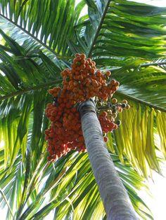 best dating a dwarf mango varieties