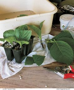 Propagate Your Shrubs from Softwood Cuttings. Softwood cuttings can be taken from most deciduous shrubs in June and July and sometimes into early August.