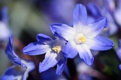 Glockenblume - Blauranke, Foto Birgit Puck