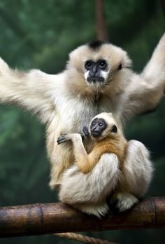 Bebé y Mamá Gibbon