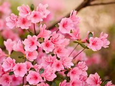 Collection of Pink Flower Wallpaper on HDWallpapers Pink Flowers Wallpaper Wallpapers) Frühling Wallpaper, Spring Flowers Wallpaper, Hd Flowers, Wallpaper Pictures, Beautiful Flowers, Laptop Wallpaper, Orange Flowers, Pictures Of Spring Flowers, Flower Pictures