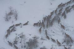Cervi - Parco Orsiera Rocciavrè #Val-Chisone #Roure #Fenestrelle #Roure #Colle-de-la-Roussa #Nature #Italie #Piémont