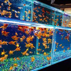 【zaki.0213】さんのInstagramをピンしています。 《金魚ちゃん☺💕 #金魚#水中楽園#アクアリウム #goldfish #kingyo #aquarium  #beautiful#cute#likes#l4l  #Instagram#instagood  #instapic #instaphoto #tagsforlikes  #likesforlikes #like4like #likeforlike》