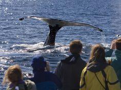 Watch minke, finback, and humpback whales glide through the Atlantic Ocean off the coast of Cape Cod, Massachusetts.