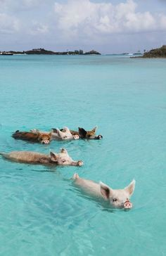 swimming with pigs Baby Animals Super Cute, Cute Little Animals, Cute Funny Animals, Baby Animals Pictures, Cute Animal Pictures, Beach Aesthetic, Blue Aesthetic, Aesthetic Collage, Travel Aesthetic