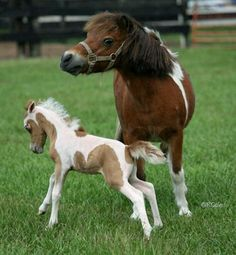 Miniature horse, pinto markings. Horses just want to have fun! Little baby foal jumping around playing.