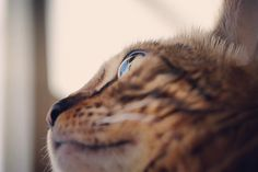"""aosorafuu.888: """"There is more to life than increasing its speedWithout haste but without rest Bengal cat Kai-chan  今日からまた新たな目標に向かってスタート歩む速度を上げるばかりが人生ではないけど急がずにだが休まずに楽しく歩んでいく私の理想はとにかくシンプルにこだわらず考えないすぎず楽しむこと複雑に考えずに常に基本に返る自分自身の改革はあくまで基本を忠実としその基本とは事実を事実としてありのままに見て感じ受け容れることこれ簡単なようですが自分の思い込みやこだわりに固執しないように心がける必要があるので大切なことだと思う  #bengal #bengalcat #snowbengal #russianblue #Abyssinian #cat #cats #cat_of_instagram #catoftheday #catsofinstagram #instacat_meows #thecatawards #Excellent_Cats…"""