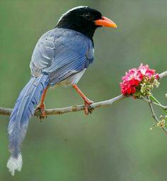 Red Billed Blue Magpie by Aravind Venkatraman Beautiful Butterflies, Beautiful Birds, Blue Jay Bird, Red Bill, Bird Gif, Colorful Birds, Magpie, Pet Birds, Wings