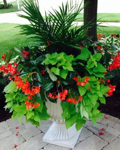 Summer part-sun planter in suburban Chicago. Red dragon wing begonia, sweet potato vine and palm in the middle. Still blooming in early October!