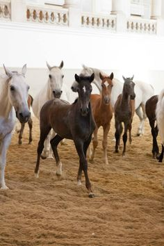 """Piber meets Vienna"" is a special annual event, when the young foals visit The Spanish Riding School in Vienna All The Pretty Horses, Beautiful Horses, Animals Beautiful, Clydesdale, Appaloosa, Spanish Riding School Vienna, Lippizaner, Lipizzan, Draft Horses"