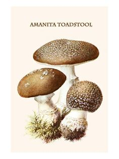 Amanita Toadstool Premium Poster by Edmund Michael at Art.com