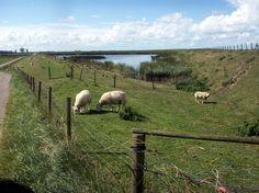 grazende schapen op de West Zeedijk