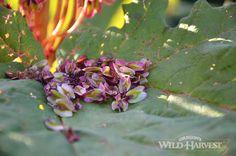 Oregon's Wild Harvest Spring Organic Rhubarb Petals 2014  #organicherbs #oregon #nongmo #organicfarm #rhubarb