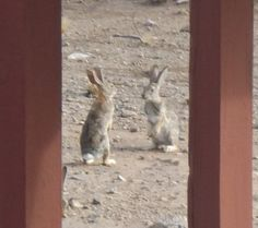 Bunny Face-off! It's what they do! From Candy Dorsey and her backyard.