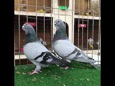 """Képtalálat a következőre: """"english owl pigeon"""""""