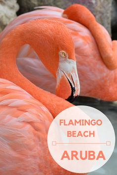 Everything You Need to Know to Visit Flamingo Beach   Aruba | Flamingo Beach | Flamingos | Renaissance Aruba | Renaissance Hotel and Casino | Caribbean | Renaissance Island