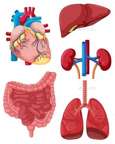Human Body Organs, Human Body Systems, Human Body Parts, Organs Of The Body, Body Anatomy, Anatomy Art, Cute Powerpoint Templates, Basic Anatomy And Physiology, Human Body Drawing
