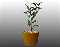 How to grow an orange tree from a fresh orange seed.