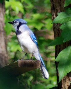 Birding with Bee: Blue Jay Blue Jay Bird, Bees, Nature, Animals, Naturaleza, Animales, Animaux, Animal, Animais