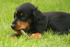 Gordon Setter puppy with a stick photo and wallpaper. Beautiful ...