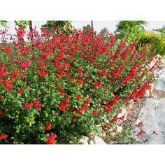 """Salvia microphylla""""Royal Bumble"""""""