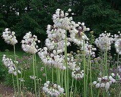 allium cernuum nodding onion white - Google Search