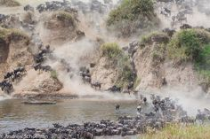 Dusty Crossing - A Herd of Wildebeest crossing the Mara river in the Masai Mara Kenya, the Migration is a amazing sight to see and the river crossings are spectacular!