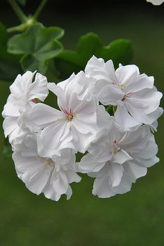 pelargonium 'Snowdrift'- I always plant white geraniums near my roses. Japanese beetles are attracted to them, & stay away from the roses!!