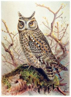 Scops owl.    John Gerrard Keulemans, from Coloured figures of the birds of the British Islands vol. 1, by Thomas Littleton Powys (Lord Lilford), London, 1885.    (Source: archive.org)
