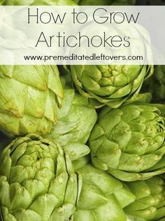How to Grow Artichokes, including how to plant artichoke seedlings, how to plant artichokes in containers, and how to care for artichoke seedlings.